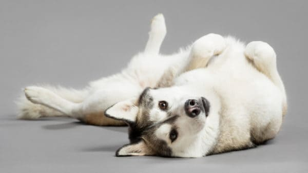 dog names that start with s - dog lying on his back with a grey background