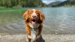 thundershirt for dogs - happy dog in front of a lake