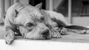 black and white image of a depressed dog lying on the floor