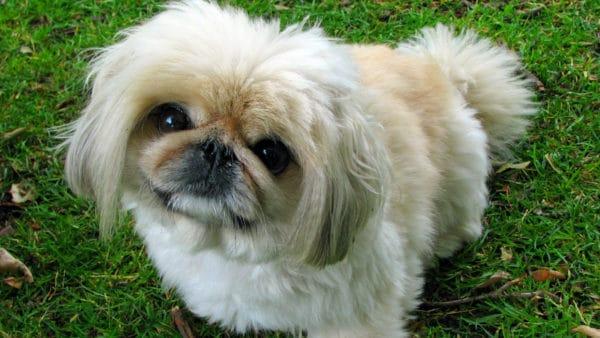 Pekingese dog - closeup of the face