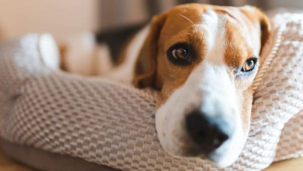 depression in dogs - a depressed looking dog lying on a sofa