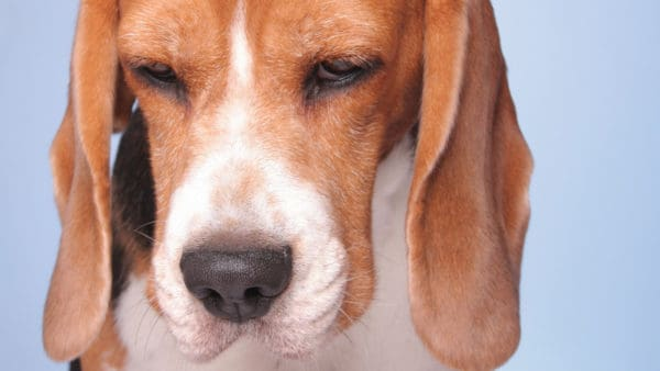 depression in dogs - close up of a depressed beagle