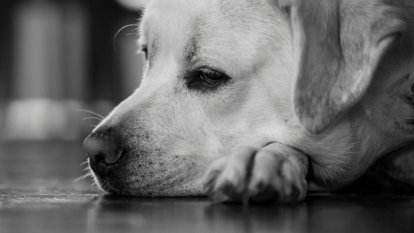 depression in dogs - depressed labrador lying on the floor, black and white photo