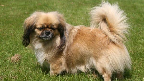 short legged dogs - Tibetan Spaniel standing on grass