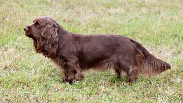 short legged dogs - Sussex spaniel, full body image