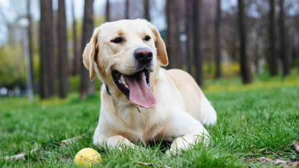 happy healthy dog lying in the grass with a ball