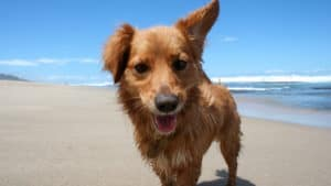 Close up of a dog on a sandy beach looking directly at camera