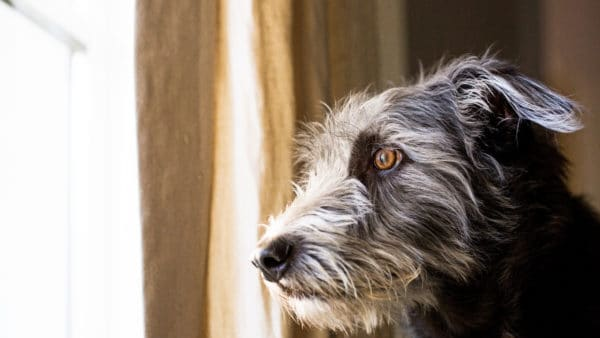 separation anxiety in dogs - dog looking out of the window stressed