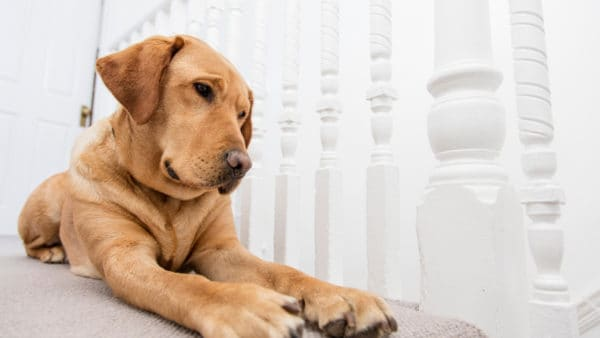 Labrador lying on the landing, looking through the white banisters