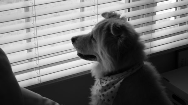Black and white image of a dog staring out of the window
