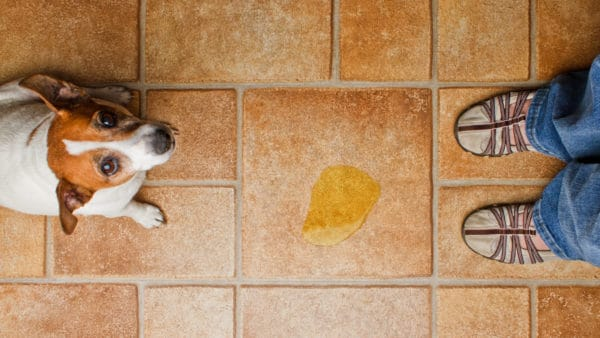 dog pee on the floor with guilty dog and owner
