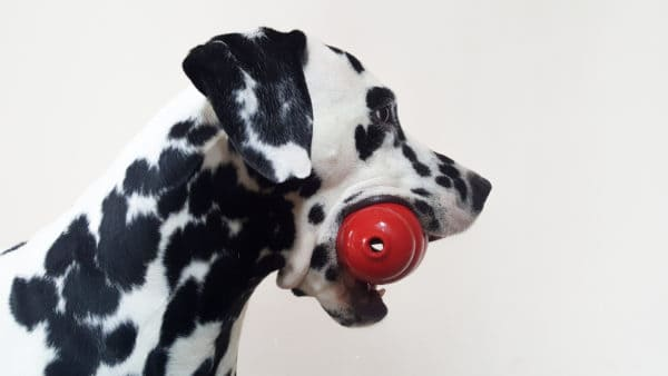 separation anxiety - Dalmation with a red Kong in his mouth