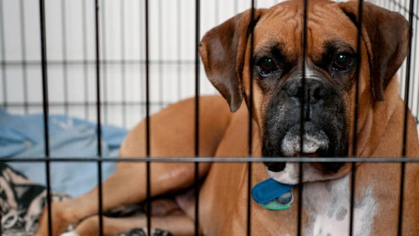 Boxer dog in a dog crate