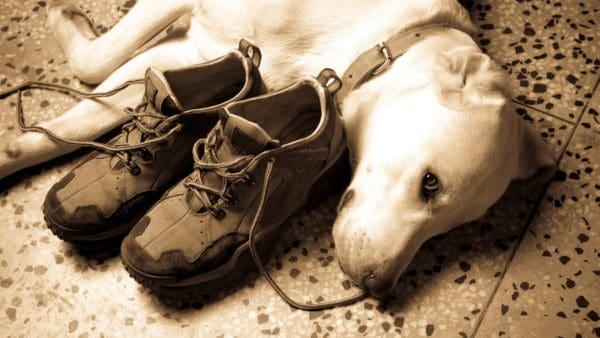 Dog lying on shoes