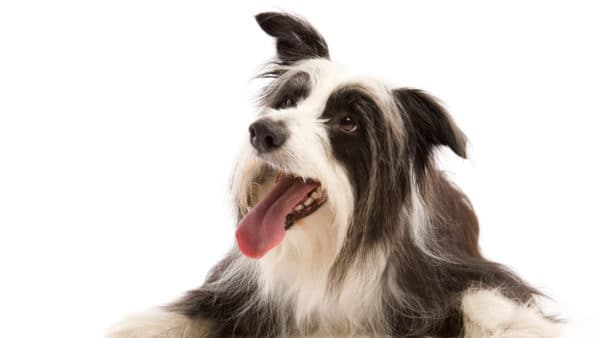 Dog names that start with T - Hairy black and white dog on a white background
