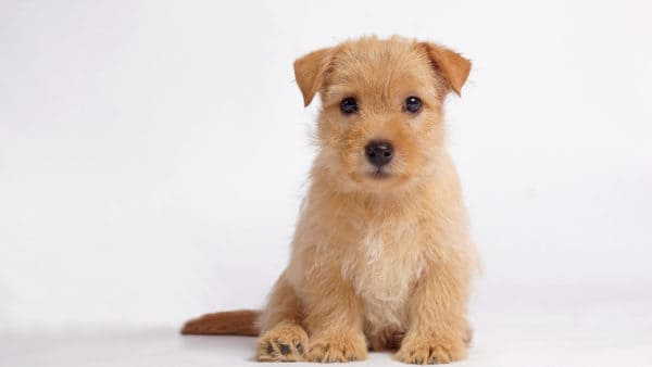 Dog names that start with F - Puppy sitting with a white background