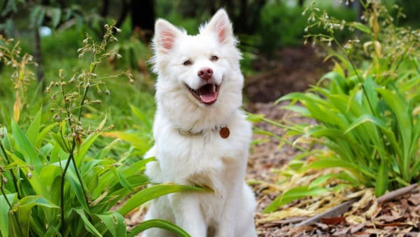can dogs eat prunes - happy fluffy white dog