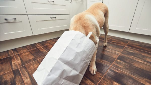 Dog in the kitchen with their head in a shopping bag