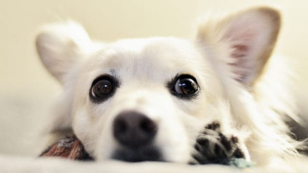 guilty looking white fluffy dog with big eyes