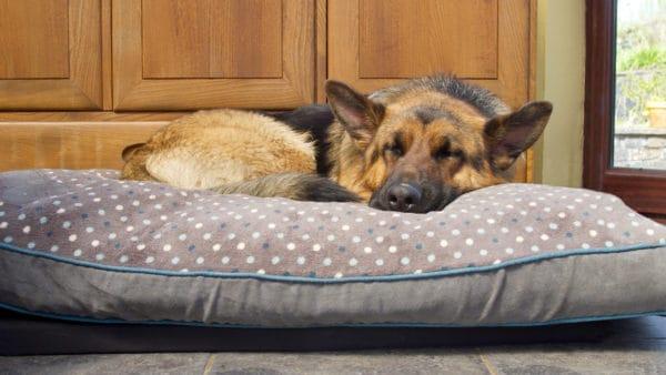 german Shepard asleep on his cushion in the kitchen