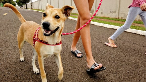 Exercise Your Dog - dog walking in the street on a leash