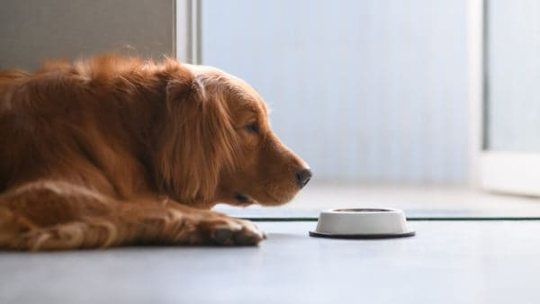 dog lying on the floor sniffing his bowl