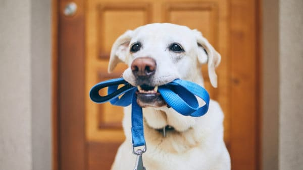 Exercise Your Dog - dog waiting to go out, with leash in his mouth